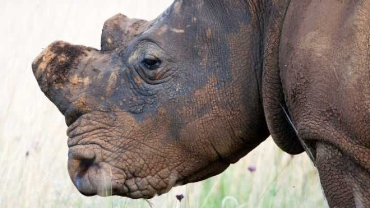 South Africa court permits domestic trade in rhino horns