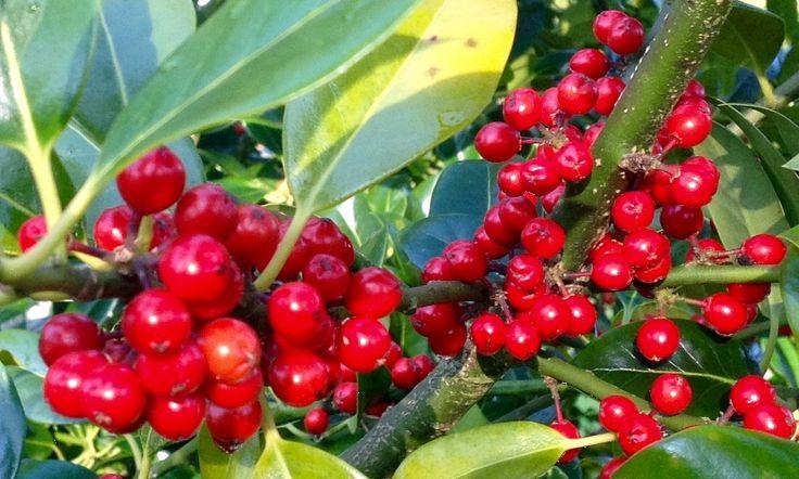 Red berries of berried holly, Ilex jc van tol