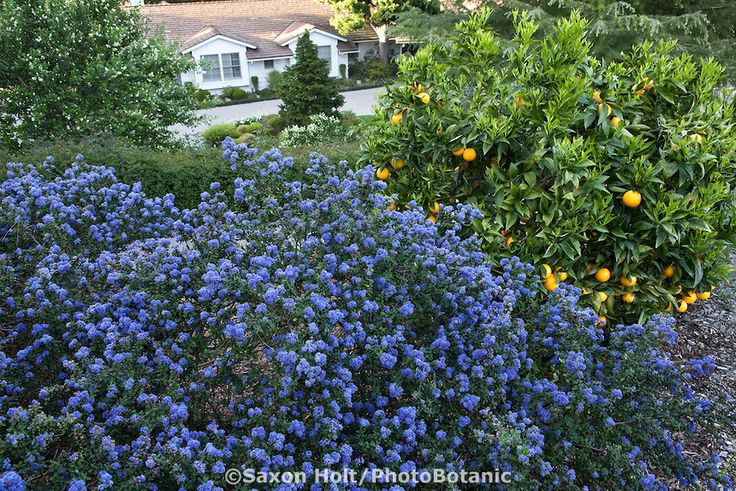Blue flowering native plant shrub california lilac for Southern california native plants