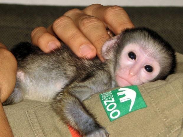 Filhote de macaco que perdeu mãe no parto é acolhido no Zoo Rio