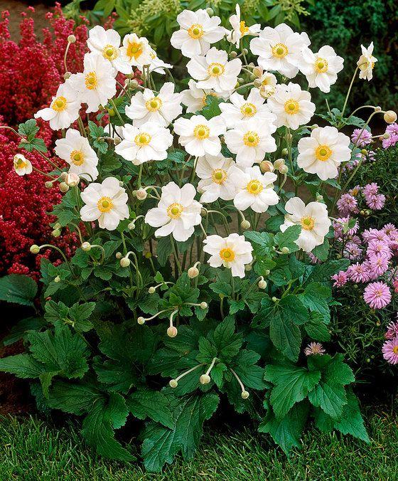 Herfstanemoon 'Honorine Jobert'  Op het moment dat voor de meeste tuinplanten het bloeiseizoen ten einde loopt verrast anemoon 'Honorine Jobert' u met een zee van prachtige witte bloemen. Deze herfstanemoon is uitermate geschikt voor in een border. De plant geeft tot oktober prachtig frisse bloemen uit eigen tuin. Ook geschikt als snijbloem!  EUR 5.95  Meer informatie