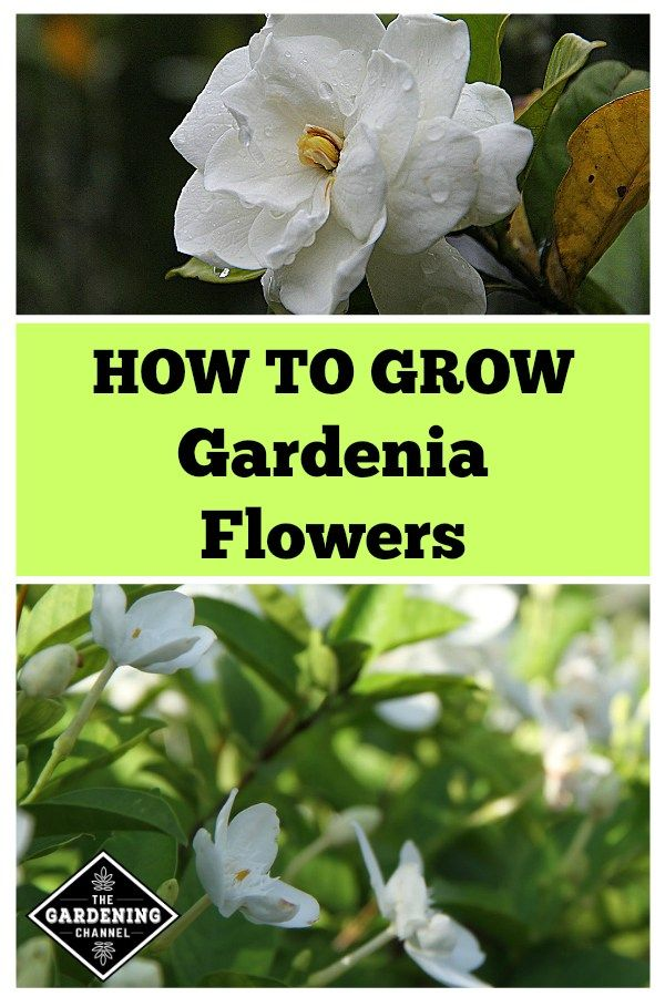 How To Grow Gardenia Flowers Garden Garden Shrubs Vegetable Garden