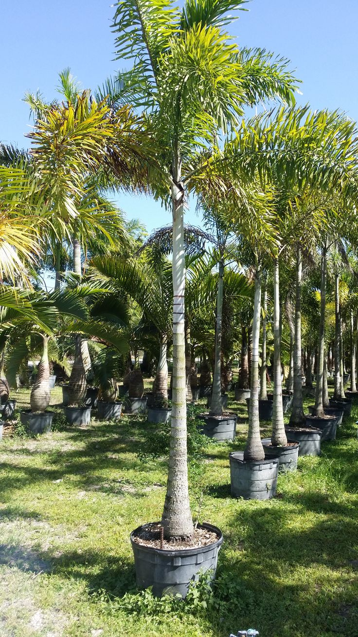 RealPalmTrees.com Florida Wholesale Plant Nursery - foxtail palm trees miami 25 gallon wholesale realpalmtrees