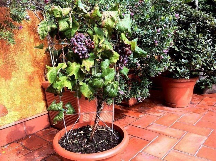 macetas de uvas- cultivar uvas