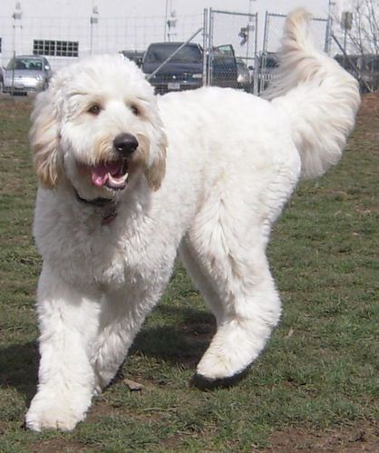 White poodle mix dogs