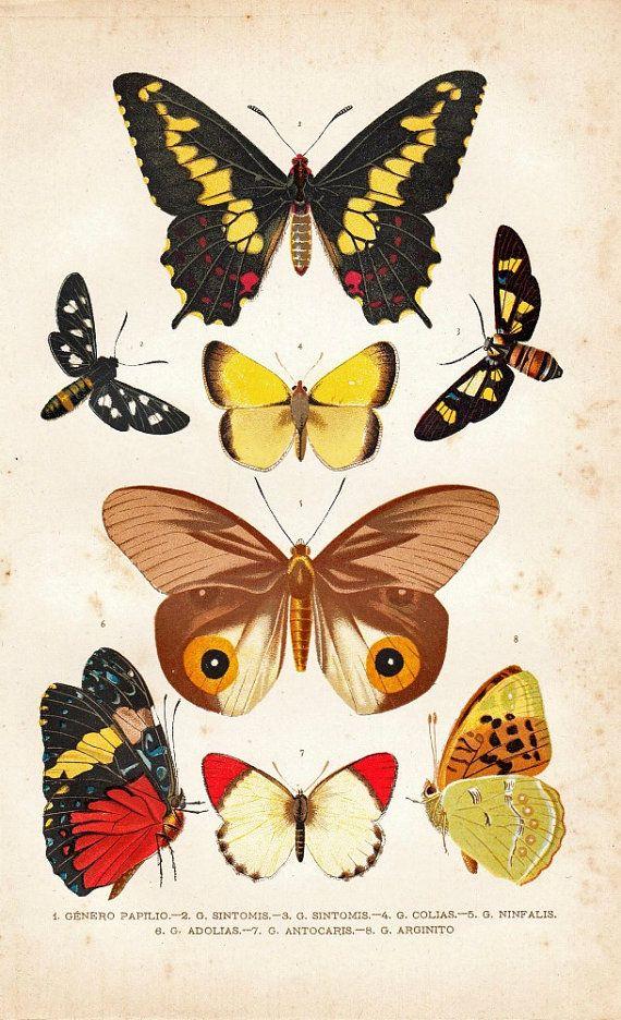 1891 Antique Entomology Chromolithograph, Butterflies
