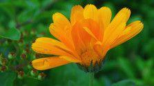 Nechtík lekársky je liečivá rastlinka, ktorá uľaví vašej koži