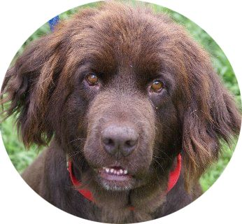 The NCA provides a nationwide network of dedicated rescuers to help Newfoundland dogs in need