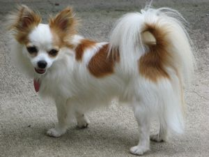 chihuahua puppies for sale in nc best 25 long hair chihuahua ideas on pinterest long 3840