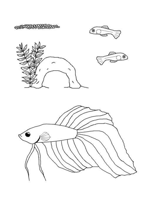 Siamese Fighting Fish Educational Life Cycle Coloring Page