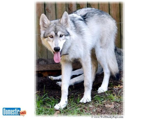 HIGH CONTENT WOLF PUPPIES FOR SALE We have rare higher contents just