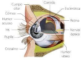 Resultado de imagen para estructura del ojo humano sin nombres