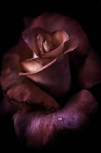 ~~ A tear of joy ~ Rose by Alan Shapiro Photography ~~