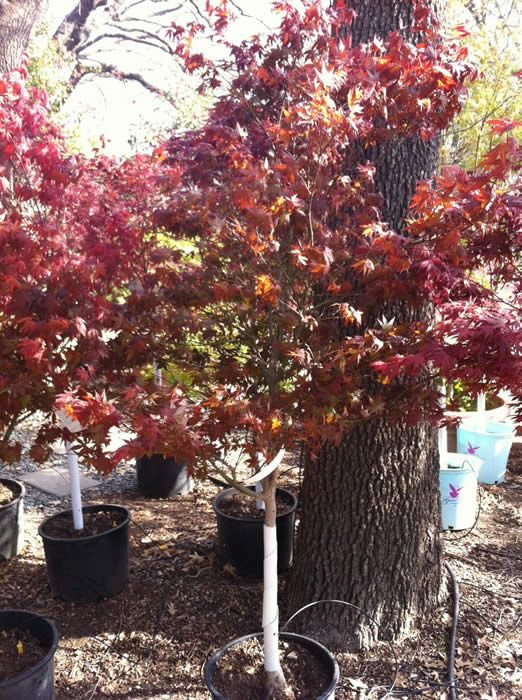 The Tree Place in FW: Great tree company to use for Fire Dragon maple...WILL BRING HERE AND PLANT. For $199 and up includes staking, planting, root stimulator etc...has a big one for $499. See email from them in Gmail.