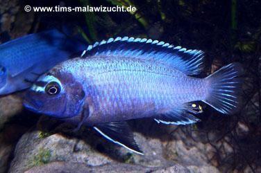 Pseudotropheus membe deep Männchen