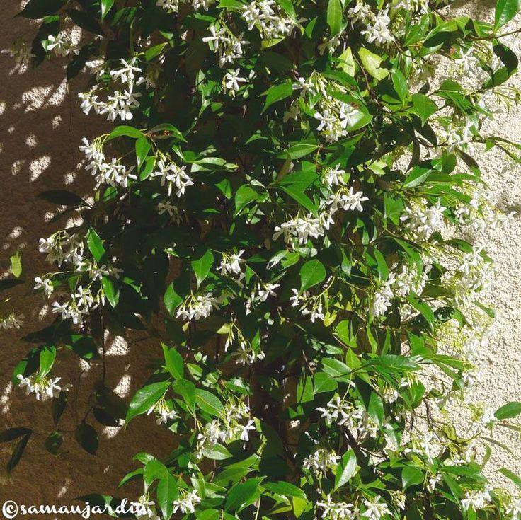 Jasmin Etoilé, Trachelospermum jasminoides