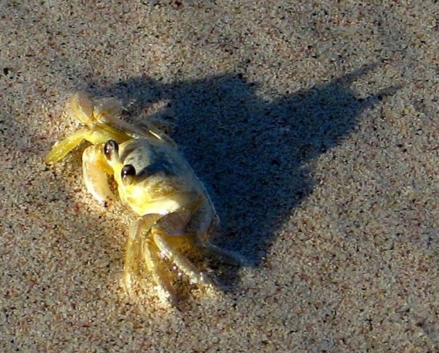 This crab is Batman...