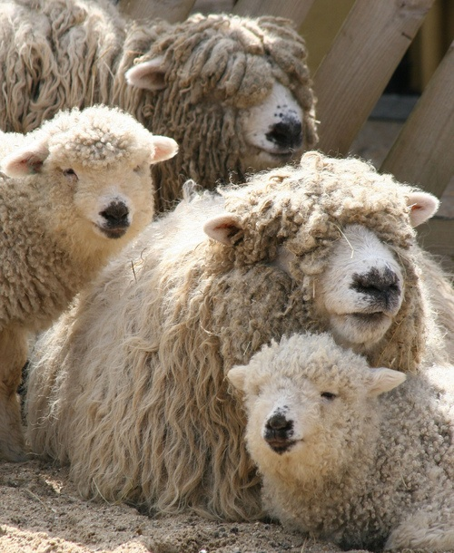 prettie-sweet:    Sheep Family (by Victor Keech)