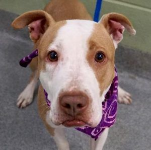 SUPER URGENT 01/02/2017 Manhattan Center RHODA aka SWEETPEA – A1098842 **RETURNED 01/02/2017** SPAYED FEMALE, TAN / WHITE, AM PIT BULL TER MIX, 2 yrs, 7 mos RETURN – AVAILABLE, HOLD RELEASED Reason PERS PROB Intake condition EXAM REQ Intake Date 01/02/2017, From NY 10038, DueOut Date 01/03/2017,