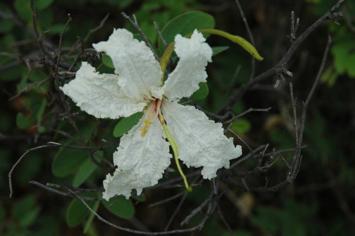 Bauhinia petersiana (Coffee Neat's foot) - Warthog Lodge