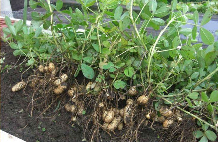 Как вырастить земляной орех арахис в огороде