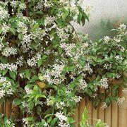 Pianta rampicante di Gelsomino -  piante fiorite
