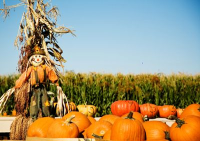 Pumpkin Patch Pictures - HowStuffWorks