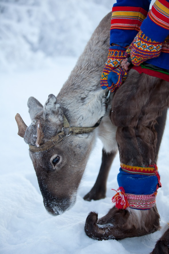 """Sami . Reindeer Calve -- or young -- whose antlers were taken for other use. Those are not """"Costumes"""", the Sami are around Hunting, and need to be SEEN in bright colors. It's the coldest part of Scandinavia, and they love their reindeer, & don't want to waste any of them so clothing is made the old ways -- it keeps them warmer than warm in Coldest part of their World!! (Living in a tent often!!)"""
