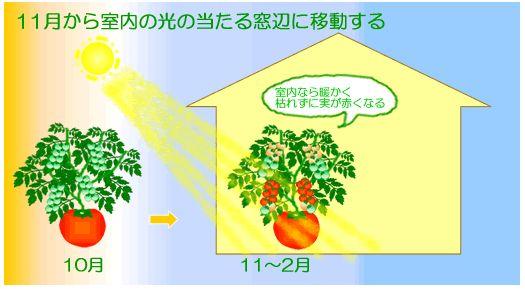 トマト・ミニトマトの寒さ対策 | 水耕栽培Q&A