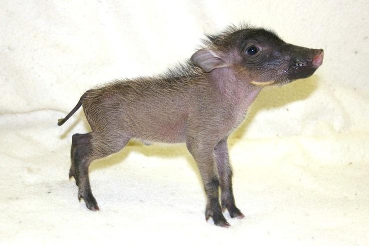 baby warthog photo
