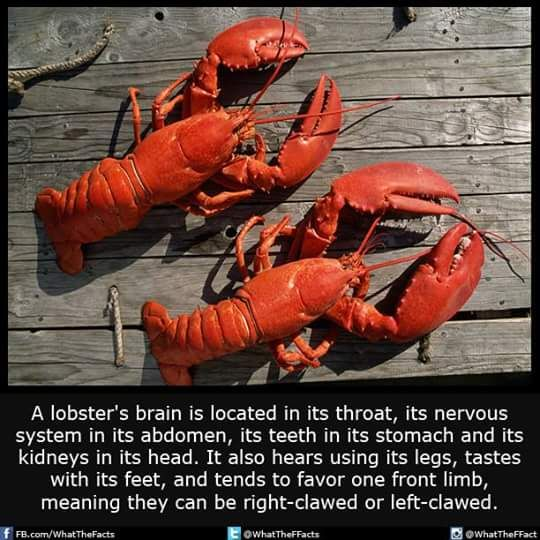Lobsters be living a fucked up life Lol. | F@CTS! | Pinterest | Interesting facts, Random facts ...