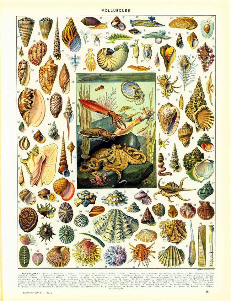 1933 Mollusque Poulpe Calamar Pieuvre Strombe Volute Cone Columbelle Coquillage Planche Larousse Grand Format Illustration de la boutique sofrenchvintage sur Etsy