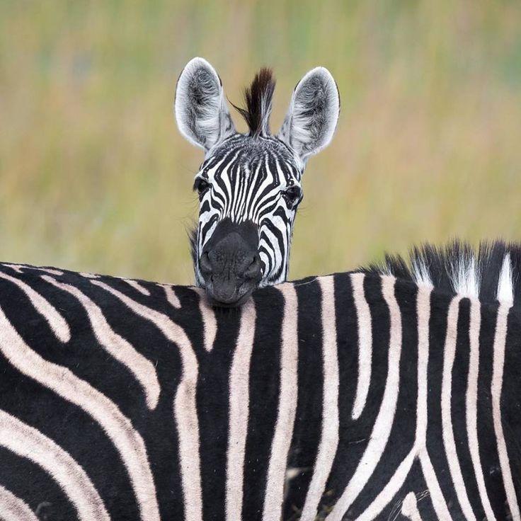 построен использовании смешные картинки про зебру фото свадьбу банкета