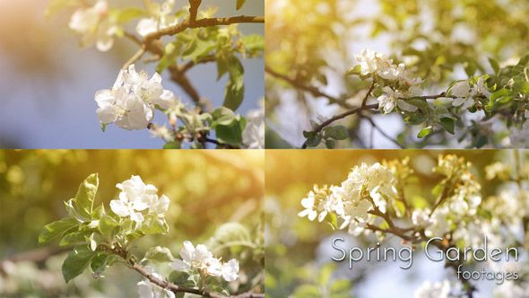 Blooming Spring Garden. Close Up Blooming Apple Trees In Spring Garden. Included: 4 files FullHD (1920×1080) mov. MJpeg 15 second each video. #spring #springgarden #appletree #blooming #springtime