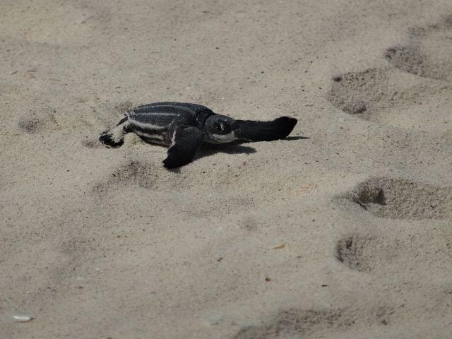 Newly Hatched Leatherback Sea Turtle at Eagle Beach