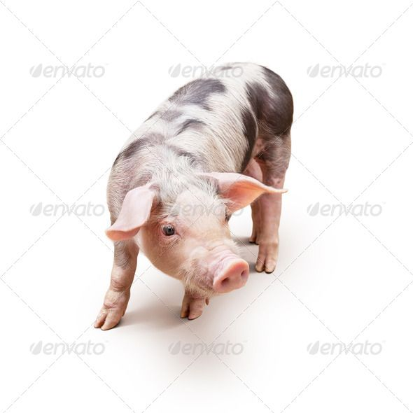 Young piglet by Stramyk. Young piglet, pietrain breed, over white background