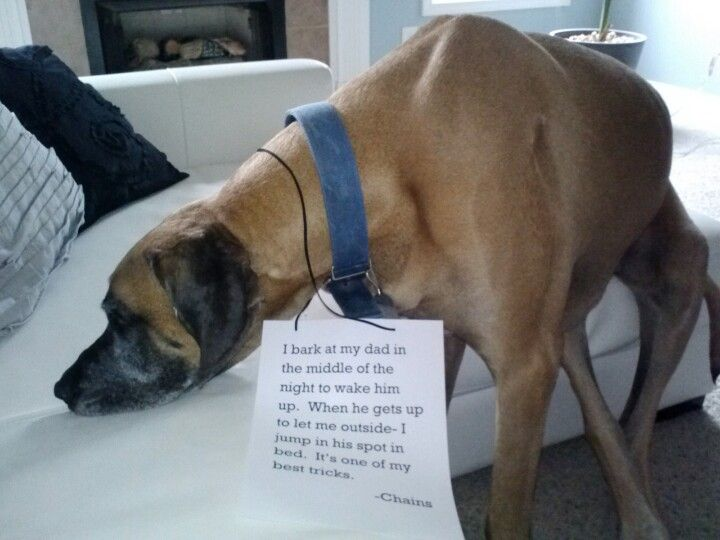 #Great #Dane. Dog shaming. Funny. I bark at my dad in the middle of the night to wake him up. When he gets up to let me outside-I jump in his spot in bed. It's one of my best tricks. -Chains Dooloo