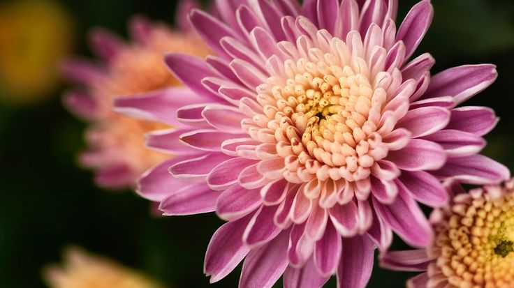 Significado #flor #Crisantemo: símbolo de buena suerte, riqueza, felicidad, longevidad, eternidad, esperanza, alegría, lealtad, optimismo y amor.