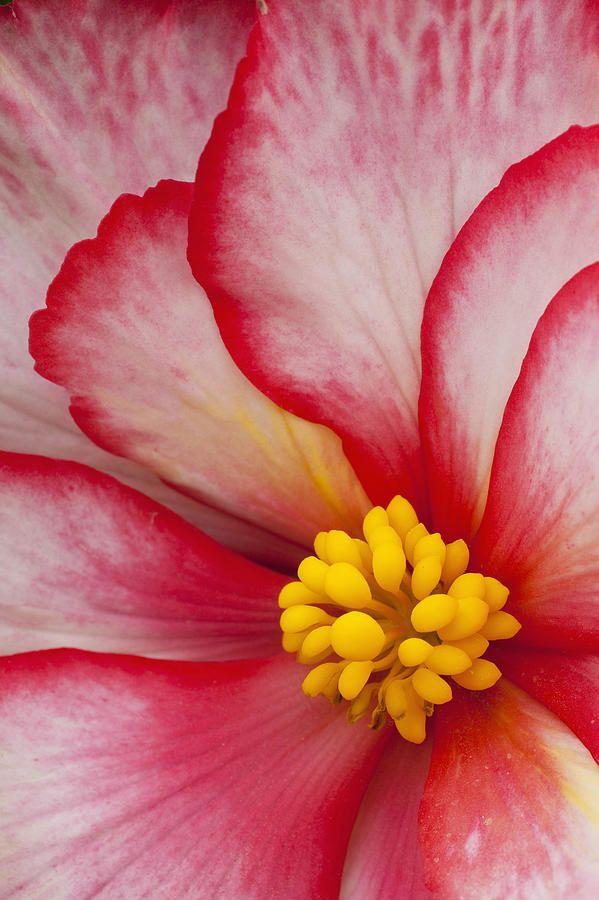 ~~Macro View Of A Variegated Begonia by John Delapp~~