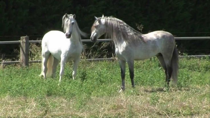 4 PRE Deckhengste im freien Spiel - 4 Andalusian stallions and their unb...