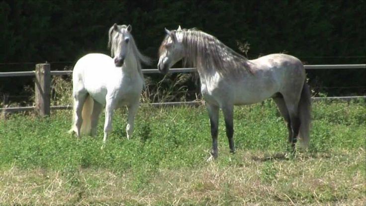 4 PRE Deckhengste im freien Spiel - 4 Andalusian stallions and their unb...