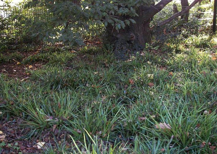 37 besten Garten   Bodendecker Bilder auf Pinterest Bodendecker