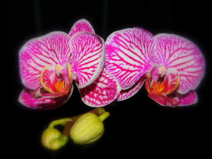 Stripey phaleanopsis!