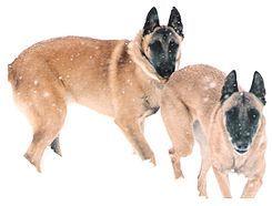 El pastor belga u ovejero belga es el nombre de cuatro razas o variedades de perros originarias de Bélgica, dependiendo de la asociación cinológica que consultemos. Las cuatro razas o variedades son: Groenendael, Laekenois, Tervueren y Malinois.