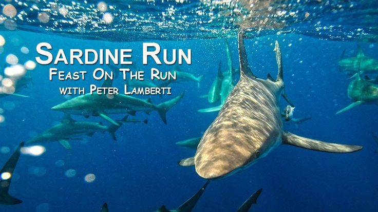 SARDINE RUN - 2 - Feast on the Run with Peter Lamberti