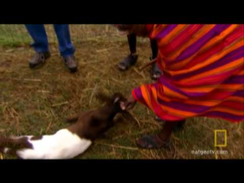 Fainting goats...if you need a laugh, watch. The 2 Kenyan men are adorable with their reactions and comments too.Kenyan Men, Critter Corner, Laugh, Fun Stuff, Don T Worry, Men Are, Hailey Stuff, Heart Kenya, Fainting Goats If