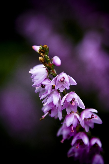 Heather Flower by Animark Photography