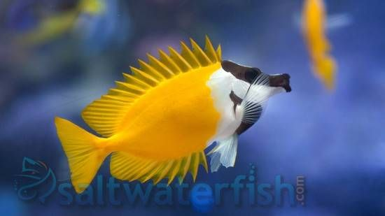 The Venomous Foxface is known under several different common names that include Foxface Rabbitfish, Common Foxface, and Foxface Lo. With its spectacular shape and coloration, the Foxface is easily recognized. Often it is misidentified with its closely relative S. unimaculatus, but the S. unimaculatus features a big black blotch on its sides. The uniqueness of this fish is that it is equipped with stout venomous spines. The Foxface is a hardy marine species, and should be kept in an aquarium…
