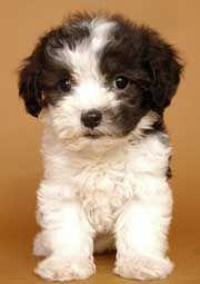 Malti-Poo Maltese + Poodle