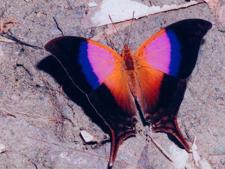 Marpesia iole  (Costa Rica) - WOW!